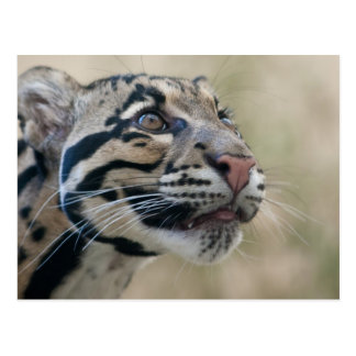 Clouded leopard postcard