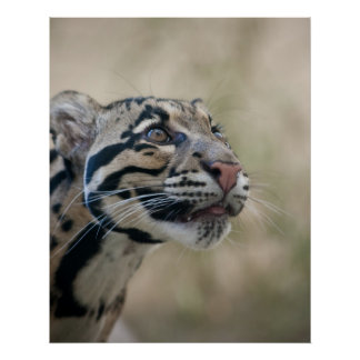 Clouded leopard posters