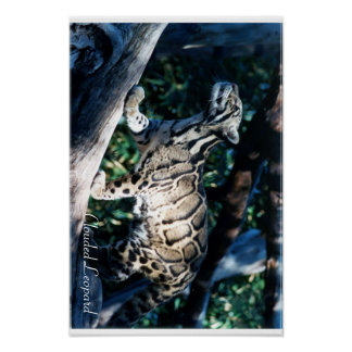 Clouded Leopard Poster