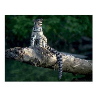 Clouded leopard sitting on log over river postcards