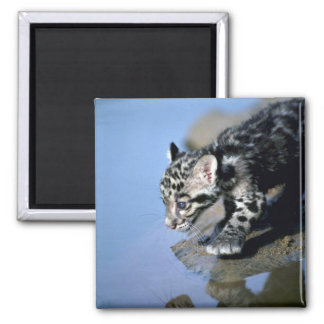 Clouded Leopard-small cub on log in river Fridge Magnet