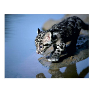 Clouded Leopard-small cub on log in river Post Cards