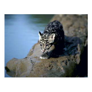 Clouded Leopard-small cub on log in river Postcards