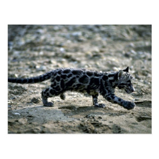 Clouded Leopard-small cub running Post Cards