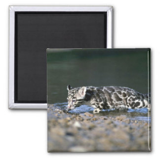 Clouded Leopard-small cub walking through water Refrigerator Magnets