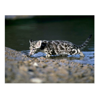 Clouded Leopard-small cub walking through water Postcard