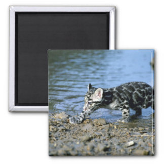 Clouded Leopard-small cub walking thru water Square Magnet