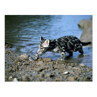 Clouded Leopard-small cub walking thru water Post Cards