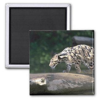 Clouded leopard square magnet