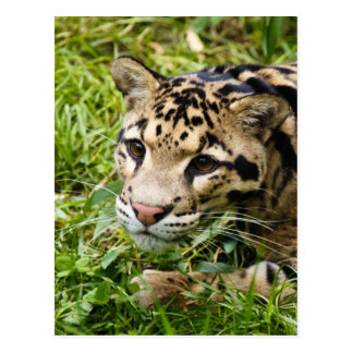 clouded leopard waiting for mom and love postcard