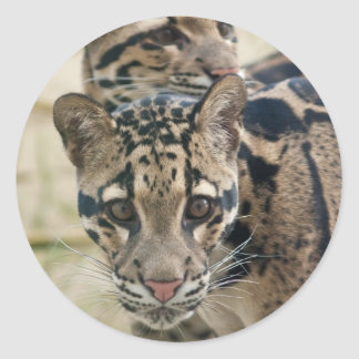 Clouded leopards classic round sticker
