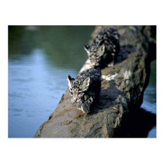 Clouded Leopards-small cubs on log in river Post Cards