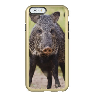 Collared Peccary Pecari tajacu) adults, Santa Incipio Feather® Shine iPhone 6 Case