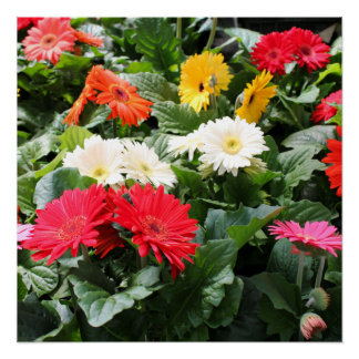 Colorful Asters Flowers Poster