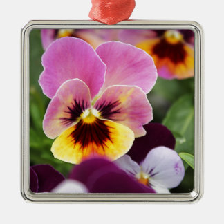 Colorful Pink and Yellow Pansy Flower Silver-Colored Square Decoration