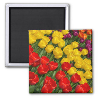 Colorful spring tulips magnet