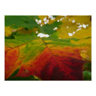 Colors of the Maple Leaf Autumn Nature Photography Poster