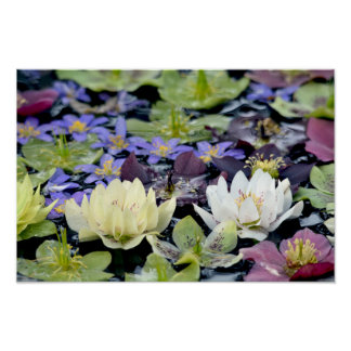 Colourful hellebores flowers poster
