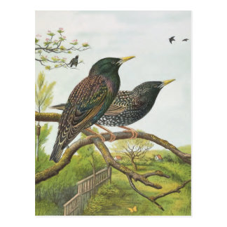 Common Starling Postcard