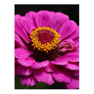 Common zinnia (Zinnia elegans) Postcard