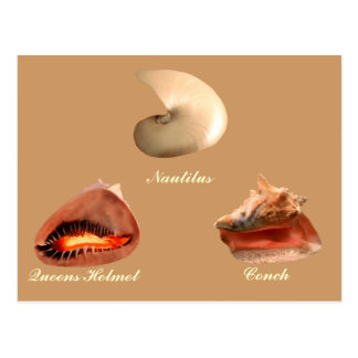 Conch, Nautilus, Queens Helmet Postcard