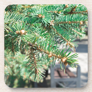 Conifer branch at the city street coaster