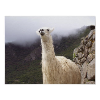 Contemplating Llama poster