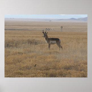 Contemplative Antelope Poster