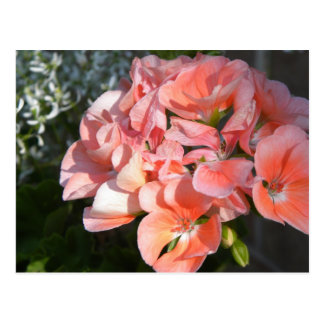 Coral geranium bunch postcard
