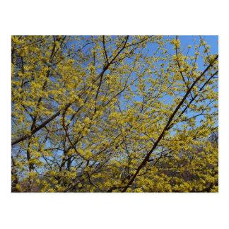 Cornelian Cherry Dogwood and Blue Sky Floral Postcard