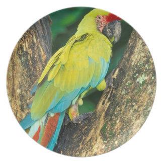 Costa Rica, Ara Ambigua, Great Green Macaw. Plate