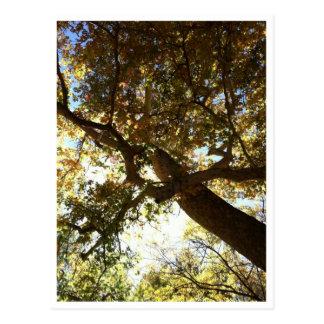 Cottonwood Postcard