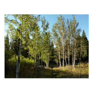 Cottonwoods Along Moose Ponds Trail at Grand Teton Postcard