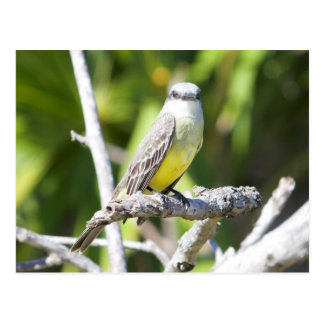 Couch's Kingbird of the Yucatan Postcard