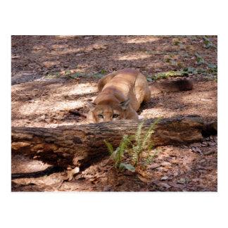 Cougar 010 postcard