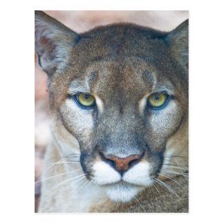 Cougar, mountain lion, Florida panther, Puma Postcard