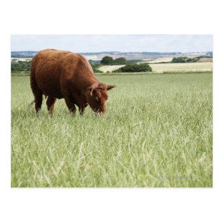 Cow grazing in meadow postcard