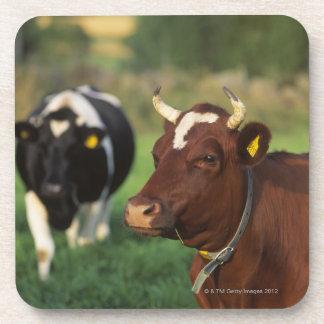 Cow grazing, Sweden. Coaster