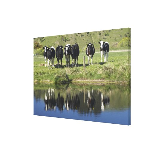 Cows reflected in canal, Henley, Taieri Plain, Stretched Canvas Print