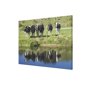 Cows reflected in canal, Henley, Taieri Plain, Canvas Print