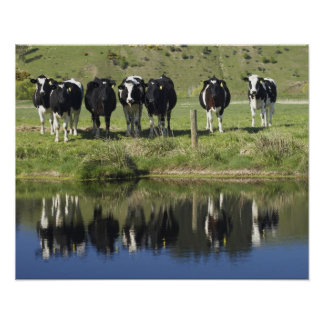 Cows reflected in canal, Henley, Taieri Plain, Poster