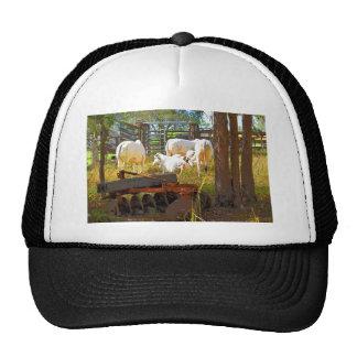 COWS RURAL QUEENSLAND AUSTRALIA CAP
