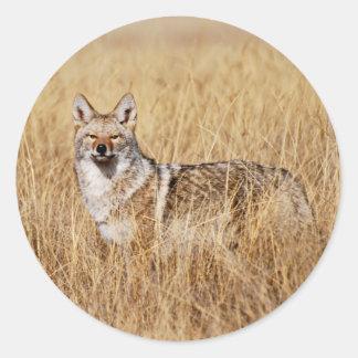 Coyote Photograph Classic Round Sticker