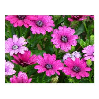 Cranesbill Geranium (Pink Flowers) Postcard