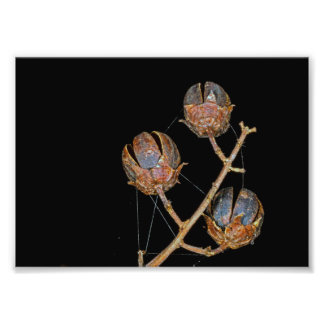 Crepe Myrtle Seed Pods Photographic Print