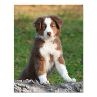 Cute Australian Shepherd Dog Puppy Pet  Paperprint Photo Print