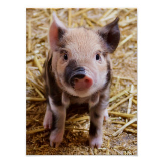 Cute Baby Piglet Farm Animals Barnyard Babies Posters