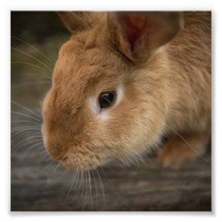 Cute brown bunny photo