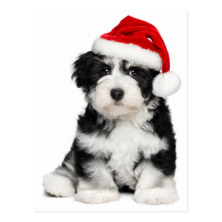 Cute Christmas Havanese Puppy Dog 2 Postcard