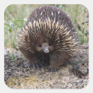 Cute Echidna from Australia Square Sticker
